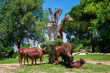 the herd of brown Watusi Bulls and a giraffe in the zoo, Garda lake, Italy Reklamní fotografie