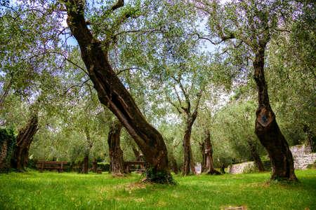 old olive park in Nago-Torbole, lake Garda, Italy Standard-Bild - 125959094