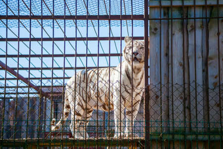 rare white snow tiger in cage in the zoo
