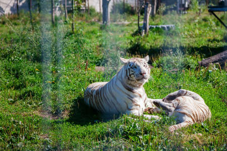 two young white tigers playing with each other lying on a grass in the zoo Reklamní fotografie