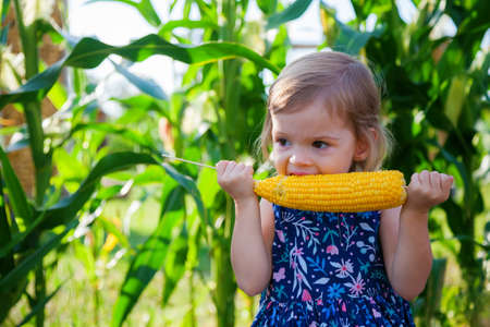 Portrait of a hungry cute little girl eating a corn cob. Corn bushes on a background