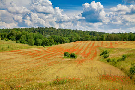 Beautiful field with blooming red poppies. Organic farming in Lithuania.