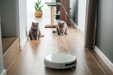 Two gray british cats watching the work of the robot vacuum cleaner