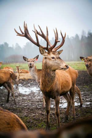 Beautiful young noble male deer with big horns among his herd