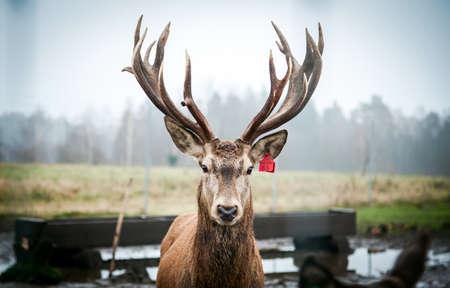 Beautiful young noble male deer with big horns Redactioneel