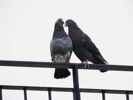 Two pigeons on the railing