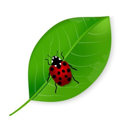 small vein: Vector illustration of ladybird on the green leaf