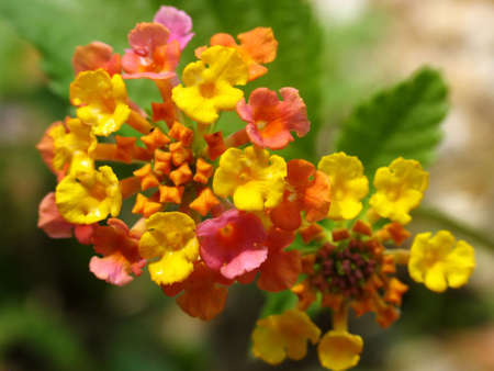 Lantana flower, or butterfly bush Stock Photo
