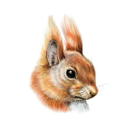 Squirrel head portrait watercolor illustration. Hand drawn close up forest fluffy animal. Cute small rodent detailed image. Red squirrel animal isolated on white background.