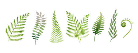 Fern plant watercolor set. Green stem floral collection. Fern leaf hand drawn element. Forest and garden evergreen elegant plant stems. Flower lush leaves on white background