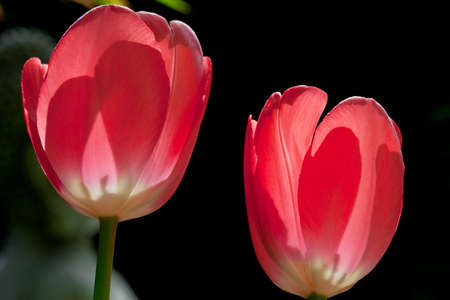 close up of two red tulips  photo