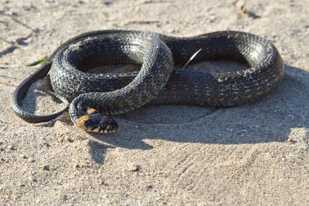 natrix: grass snake  Natrix natrix  on sand near water Stock Photo