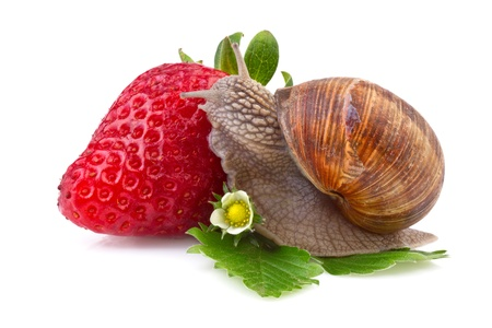 snail and strawberry on white background photo