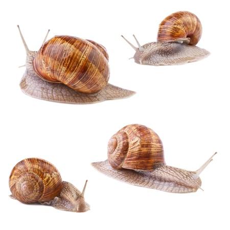 slowly: garden snail collection on white background Stock Photo