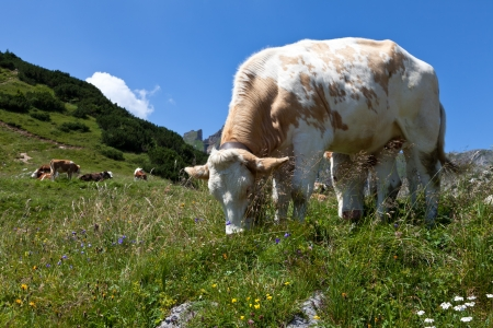 Cows on pasture in the Alps, Austria photo
