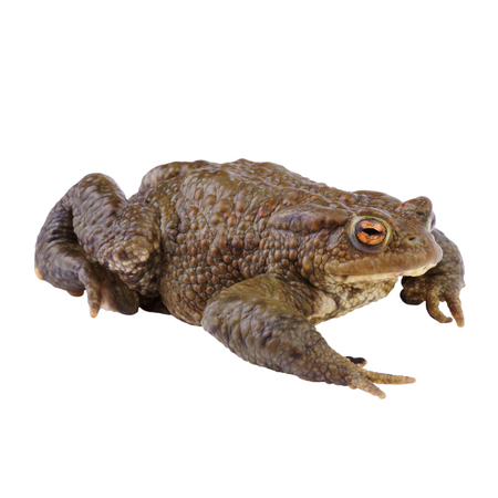 Common Toad or european Toad (Bufo bufo) Isolated on white background photo