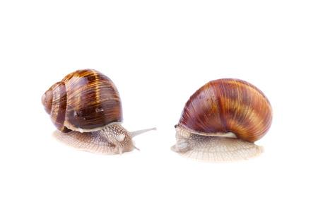 Garden Snails - Helix pomatia isolated on white