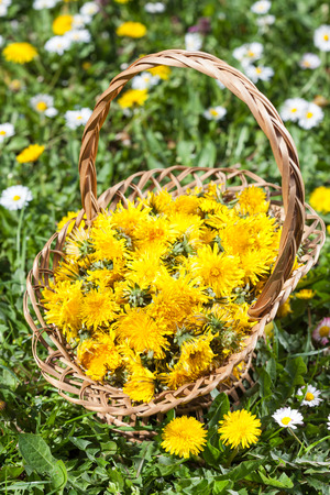 collected: Dandelion Flower collected in a Basket on Meadow
