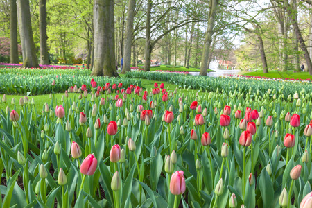 Springtime in Keukenhof Gardens, Lisse, Netherlands  photo