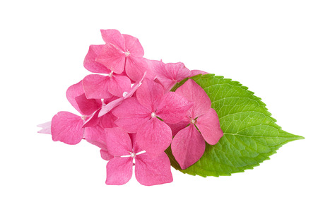 Hydrangea flower with green leaf isolated on white  photo
