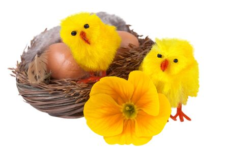 Easter nest with yellow chicks isolated on white photo