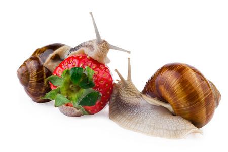 garden snail strawberry photo