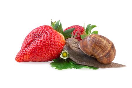 despacio: Rastrero caracol de jardín de una fresa