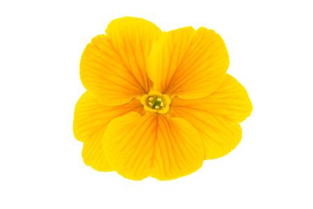 spring flower isolated on white