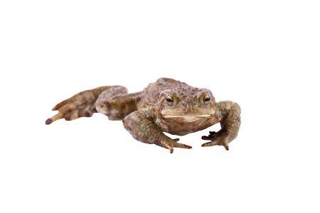 bufo toad: Common toad or european toad (Bufo bufo)