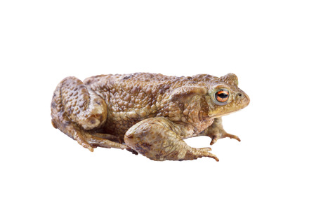 bufo bufo: Common toad or european toad (Bufo bufo) isolated on white