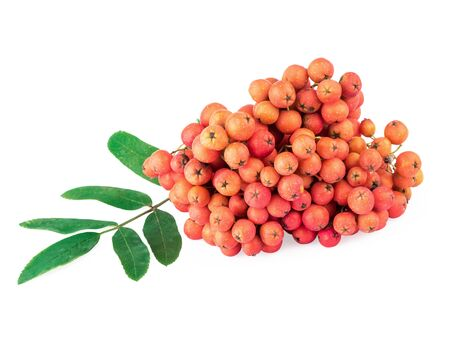 sorbus aucuparia: Rowan (Sorbus aucuparia) berries and leaves isolated on white