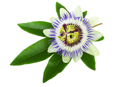 passion flower: Passion Flower (Passiflora) Stock Photo