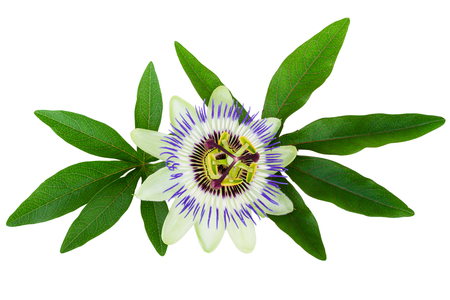 Passion Flower Passiflora isolated clipping path included Stock Photo
