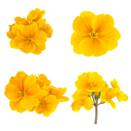 isolated on yellow: Yellow Spring Flowers Primrose Collection