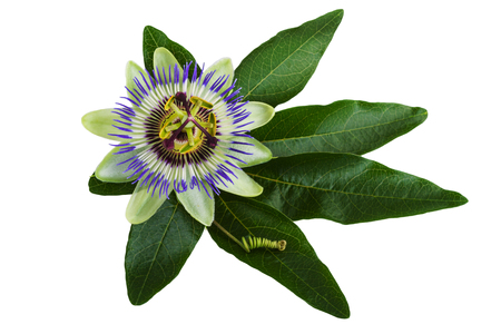 passion flower: Passiflora or Passion Flower Isolated on White