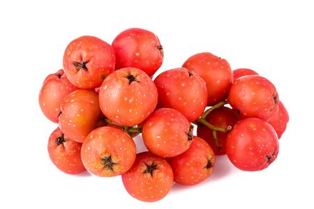 sorbus: Rowan berries closeup Sorbus aucuparia