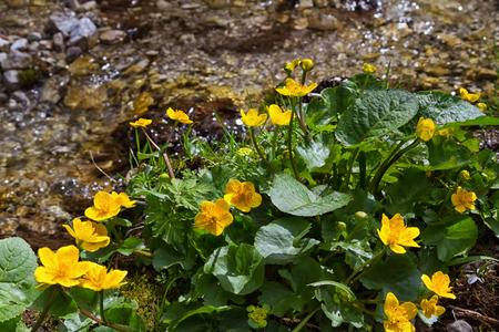 palustris: Marsh Marigold flowers (Caltha palustris) is an sign of spring