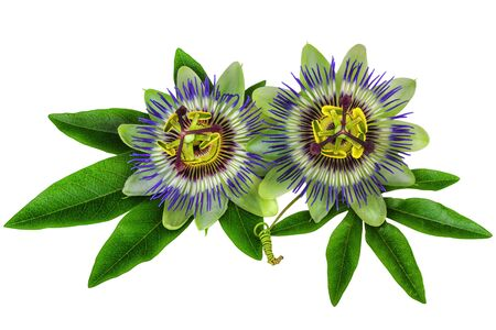 passion flower: Passiflora Passion Flower homeopathic plant isolated clipping path included Stock Photo