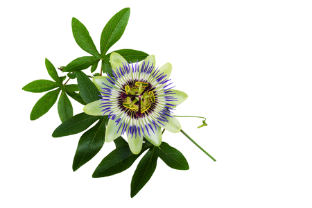 passion flower: Passiflora or Passion Flower. Homeopathic plant. Stock Photo