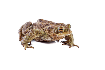 bufo toad: Frog or Common toad or european toad (Bufo bufo) Stock Photo