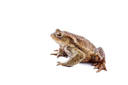 bufo toad: Frog or Common toad (Bufo bufo)