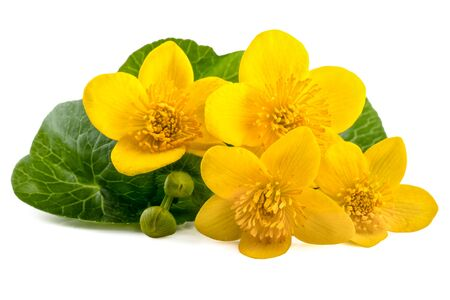 palustris: Yellow flowers of caltha (Caltha palustris) on white background