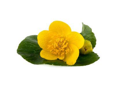 palustris: Yellow flower of caltha (Caltha palustris) on white background Stock Photo