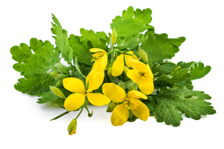 Chelidonium plant with flowers or greater celandine (Chelidonium majus) on white Standard-Bild