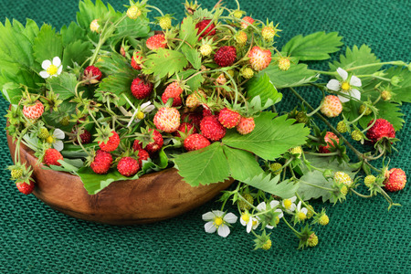 'wild strawberry: Wild strawberry or woodland strawberry on green jute fabric.