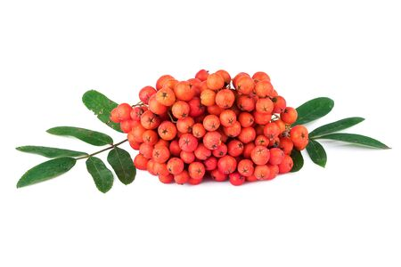 aucuparia: Rowan berry Sorbus aucuparia on white background Stock Photo