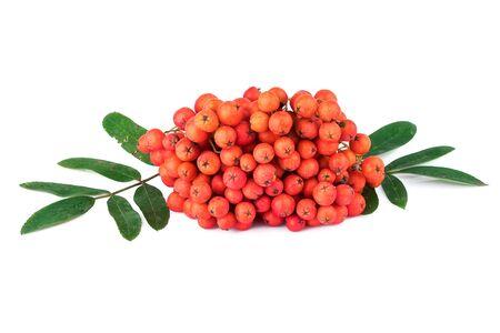 sorbus aucuparia: Rowan berry Sorbus aucuparia on white background Stock Photo