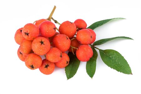 aucuparia: Rowan berry (Sorbus aucuparia). Closeup.