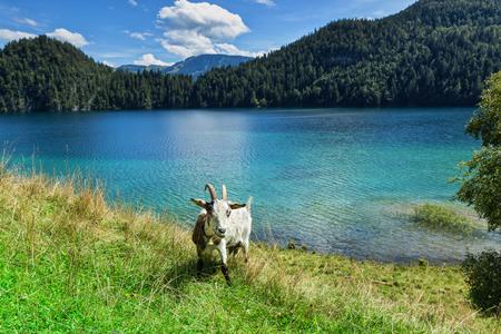 goat grazing near a mountain lake