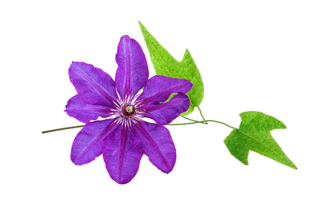 clematis: Tropical Flower Purple color isolated on white. Spa concept.